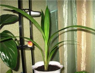 Комнатные цветы с длинными листьями узкими