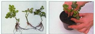 Как посадить черную розу в домашних условиях - Dmitrykabalevsky.ru